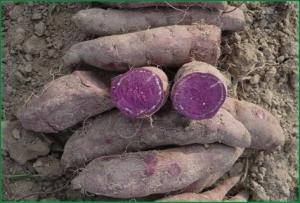 purple_yam